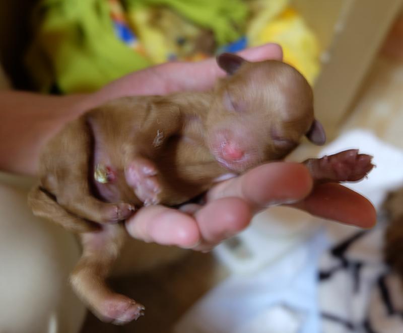 トイプードル 出産